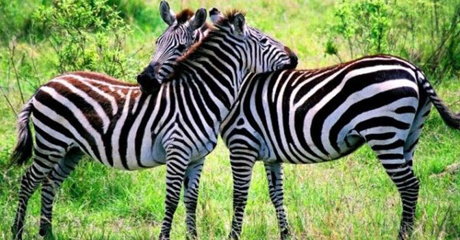 If a Zebra Is Attacked, Its Family Will Come to Its Defense.