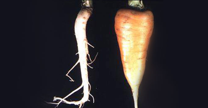 Before the 17th Century, Almost All Cultivated Carrots Were Purple or White.