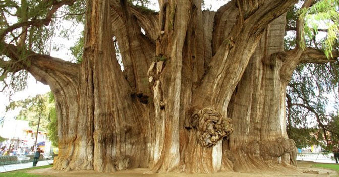 The Stoutest Tree in the World - El Árbol del Tule - Has a Circumference of 42m (137.8 ft)