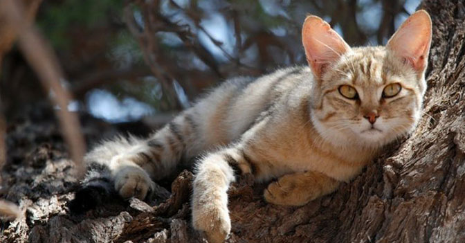 All House Cats Are Descended from As Few As Five Female African Wildcats
