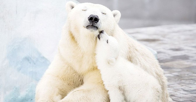 Polar Bears Are Nearly Invisible Under Infrared Photography